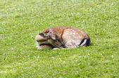 Sleeping doe — Stock Photo