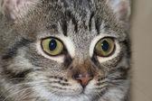 кошка - deatil головы — Стоковое фото