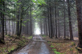 Coniferous forest in fog — Stock Photo