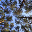 Stock Photo: High trees in the forest