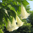 Foto Stock: Angel trumpets