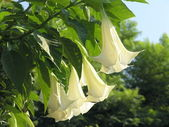 Angel trumpets — Stock Photo