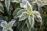 Frosty nettle — Stock Photo