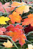 Frosty autumn leaves — Stock Photo