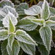Frosty nettle — Stock Photo #4124037