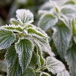 Frosty nettle — Stock Photo