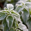 Frosty nettle — Stock Photo #4124041