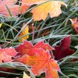 Stock Photo: Frosty autumn leaves