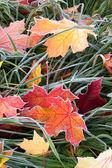 Frosty autumn leaves — Stock Photo
