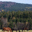 Horses in the meadow — Foto de Stock