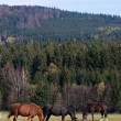 Horses in the meadow — Stok fotoğraf