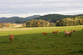 Cows in the meadow — Stockfoto