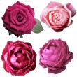 Assorted on rose blooms — Stock Photo