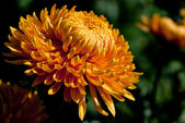 Yellow chrysanthemum close-up — Stock Photo