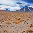 Altiplano grass paja brava close to volcano Miscanti, desert Atacama, Chile - Stock Photo