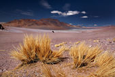 Altiplano grass Paja brava close to Salar Aguas Calientes and Cerro Losloyo — Stock Photo