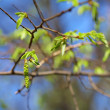 Leaf bud of the birch on blue sky background, focus on the bud — Stock Photo