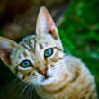 Curious cat with blue eyes - Stock Photo
