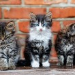 Three kittens on bricks background — Stock Photo