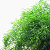 Bunch of dill on white background — Stock Photo