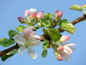 A beautiful apple blossom against the blue sky — Stock fotografie