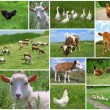 Stock Photo: Farm animals and birds, collage