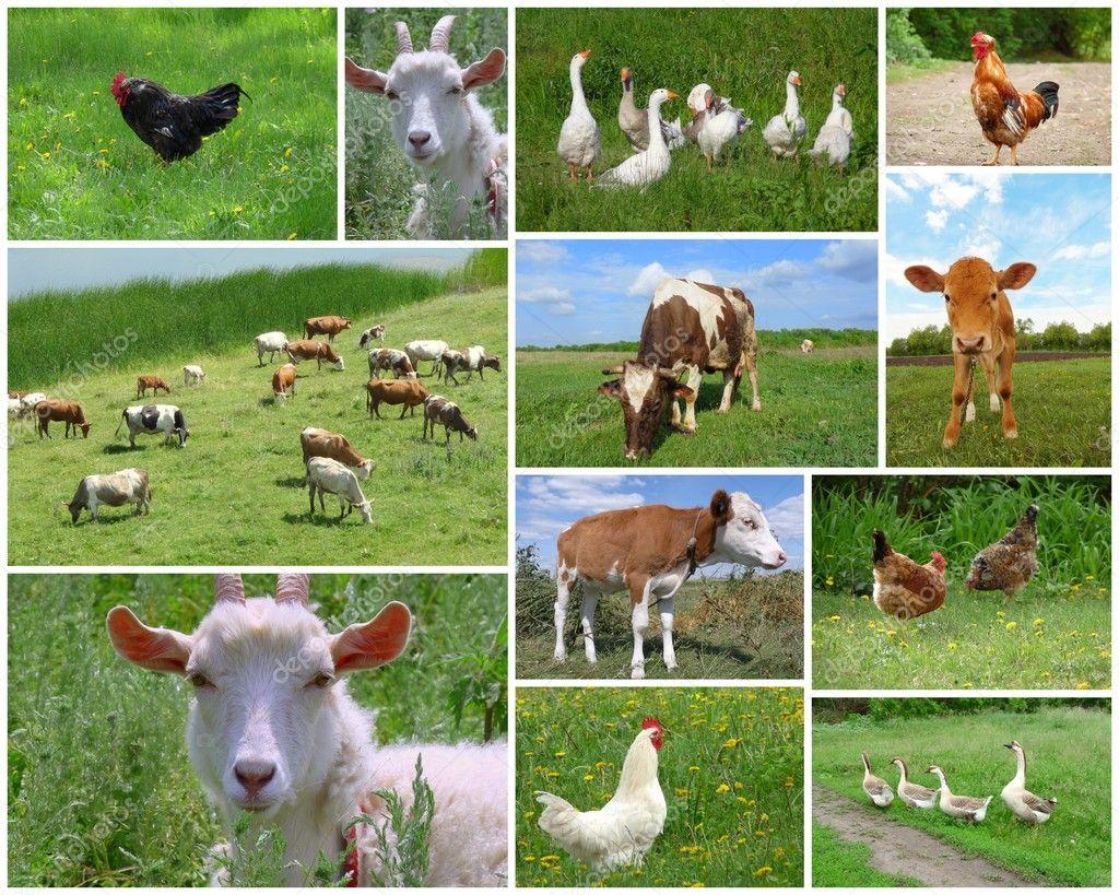 Farm Animals Collage