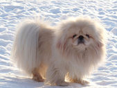White Pekingese on white snow — Stock Photo