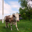 Stock Photo: Motley Cow in rural areas