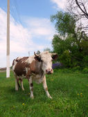 Motley Cow in rural areas — Stock Photo