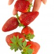 Strawberry falls on women's hands - Stock Photo