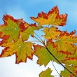 Stock Photo: Autumn maple leaves against sky