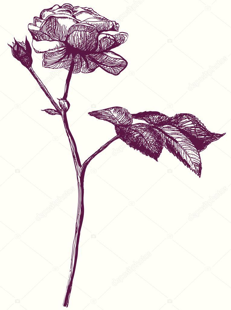 rose flower sketch. rose flower sketch.