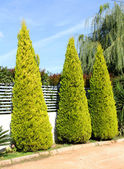 Fence hedge from evergreen plants — Stock Photo