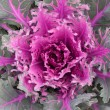 Decorative cabbage background — Stock Photo