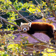 Red Panda poking its tongue out while resting on tree branch - Lizenzfreies Foto