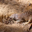 Stock Photo: Meerkat (Suricate) camouflaged in dirt - Suricatsuricatta