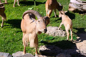 Herd of Barbary Sheep eating leaves (Ammotragus lervia) — Stock Photo