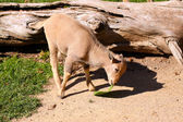 Baby Barbary Sheep (2 month old female) — Stock Photo