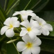 Paradise plumeria. Flowers of Borneo. — Stock Photo