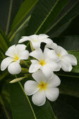 Paraíso plumeria. flores de borneo. — Foto de Stock