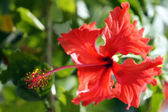 Paradise fjärilar. hibiskus i borneo. — Stockfoto