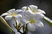 Paradise frangipani. Flowers of Borneo. — Stock Photo