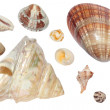 Stock Photo: Seashell