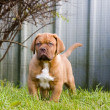 Dogue de bordeaux puppy — Stock Photo