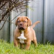 Dogue de bordeaux puppy — Stock Photo #4720767