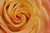 Rose in macro — Stock Photo