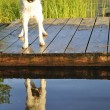 Jack Russel want to swim — Stock Photo #4092552