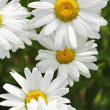 Rain drops on daisy flowers — Stock Photo