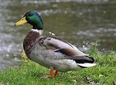 鸭男 — 图库照片